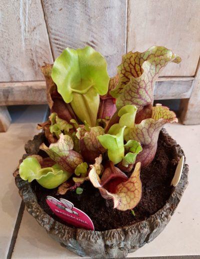 Plante carnivore sarracenia